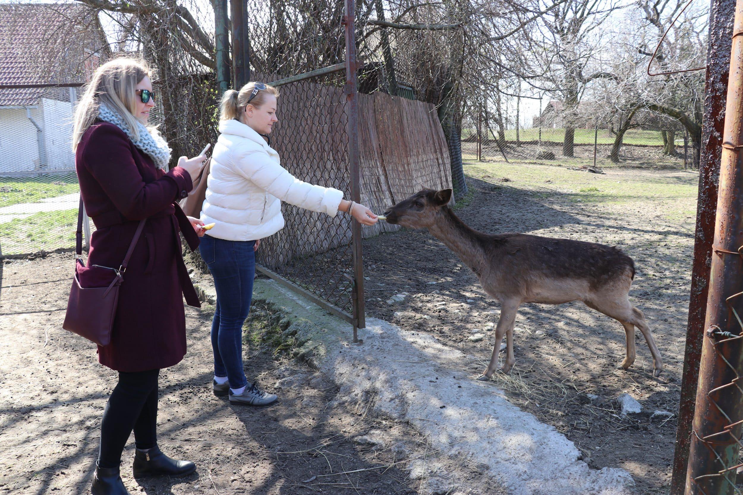 Breeding fallow deers